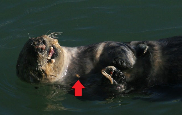 Sea_otter_with_shells_2.jpg